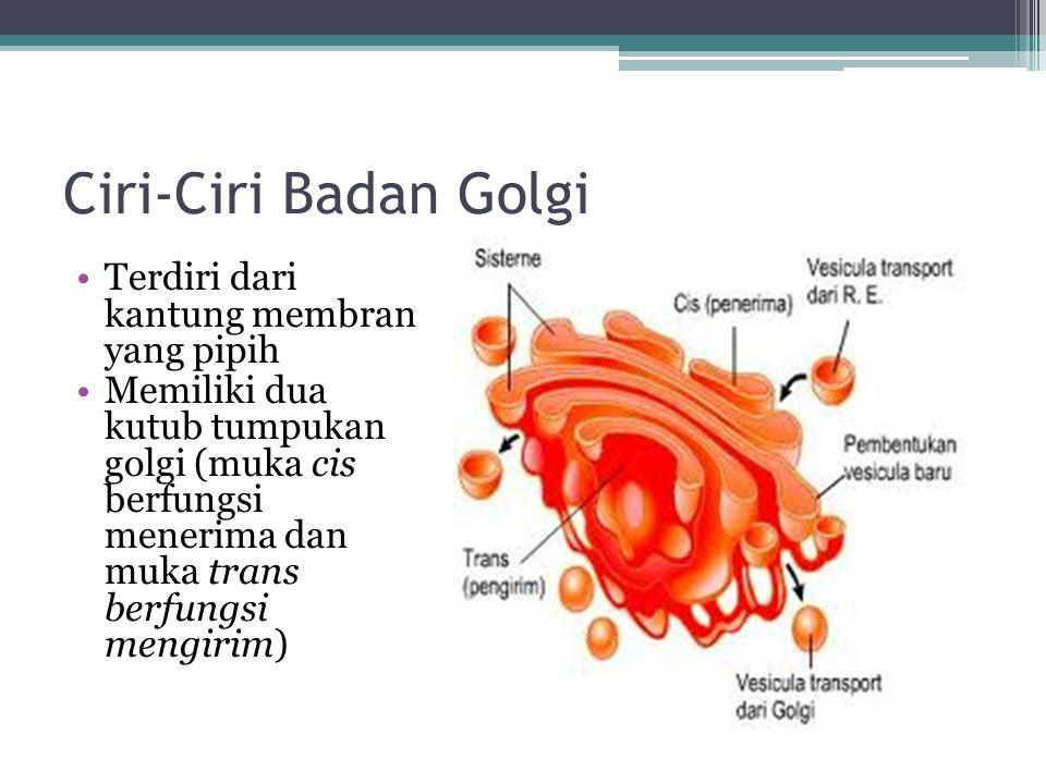 Ciri-Ciri Badan Golgi Terdiri dari kantung membran yang pipih Memiliki dua kutub tumpukan golgi (muka cis berfungsi menerima dan muka trans berfungsi mengirim)