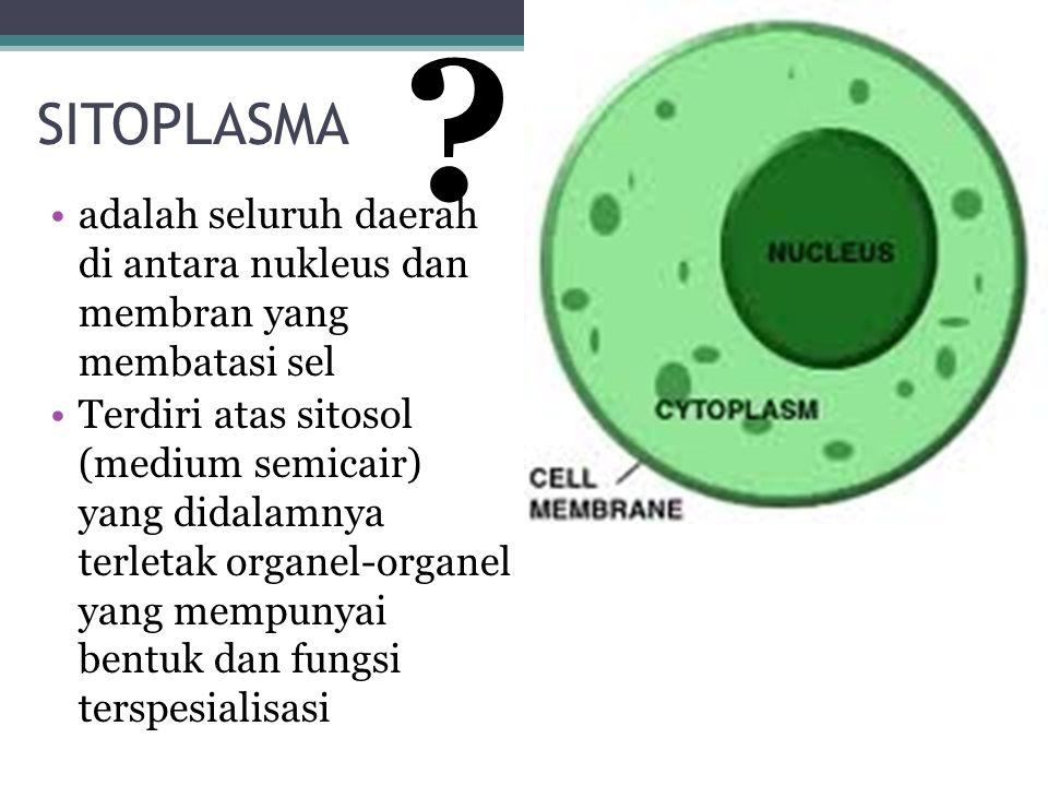 SITOPLASMA adalah seluruh daerah di antara nukleus dan membran yang membatasi sel Terdiri atas sitosol (medium semicair) yang didalamnya terletak orga