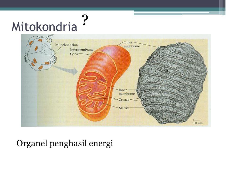Ciri-ciri Mitokondria Panjangnya sekitar 1-10 µm Bergerak berkeliling, berubah bentuk, dan membelah menjadi dua Dibungkus oleh dua membran (luar dan dalam) Membran luarnya halus Membran dalamnya berlekuk-lekuk disebut Krista