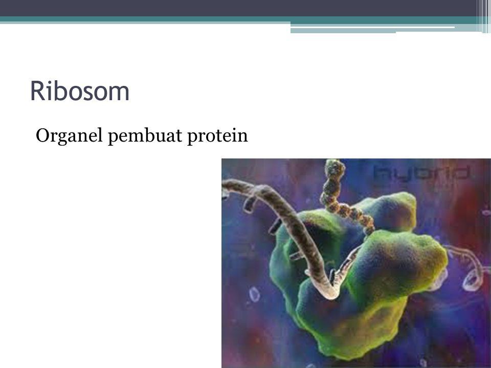 Ribosom ada dua Ribosom bebas yang terdapat di sitosol Ribosom terikat yang melekat pada RE