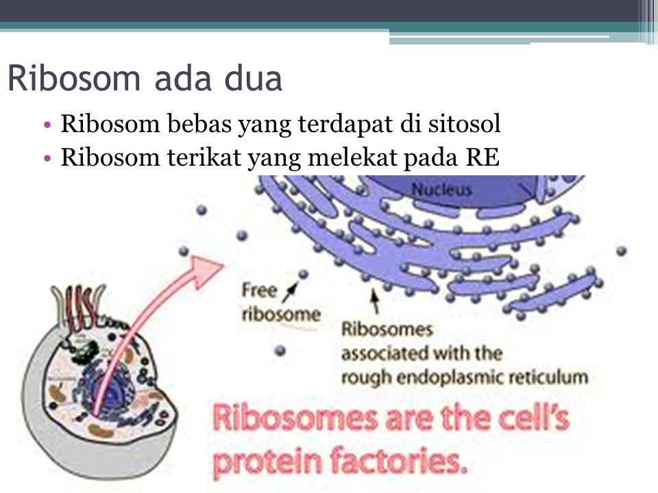 Retikulum Endoplasma Jaringan bermembran yang sangat eksentif pada sel eukariotik, bersambungan dengan membran bagian luar nukleus dan terdiri atas region yang kaya akan ribosom (RE Kasar) dan daerah yang bebas dari ribosom (RE halus)