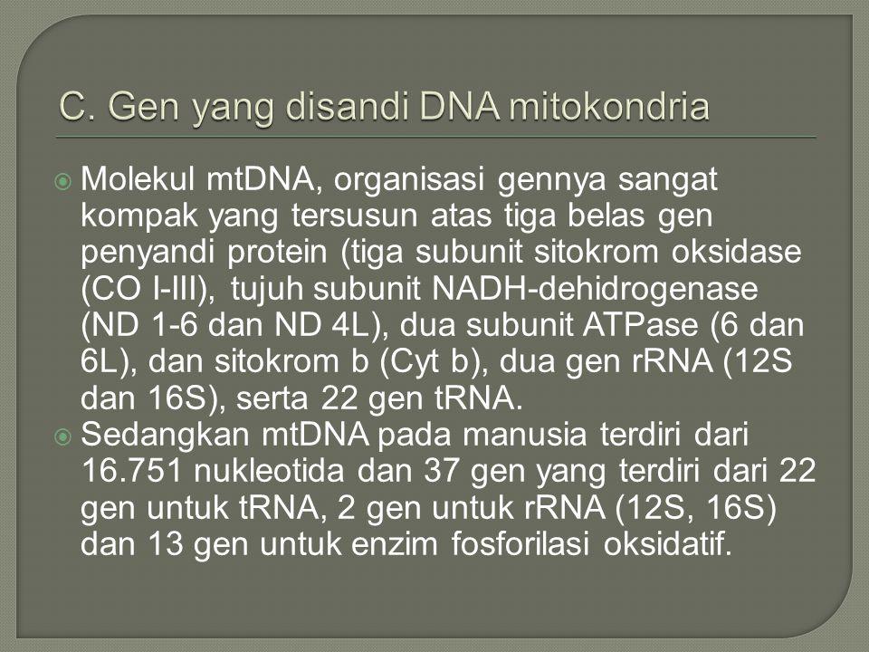  Molekul mtDNA, organisasi gennya sangat kompak yang tersusun atas tiga belas gen penyandi protein (tiga subunit sitokrom oksidase (CO I-III), tujuh subunit NADH-dehidrogenase (ND 1-6 dan ND 4L), dua subunit ATPase (6 dan 6L), dan sitokrom b (Cyt b), dua gen rRNA (12S dan 16S), serta 22 gen tRNA.