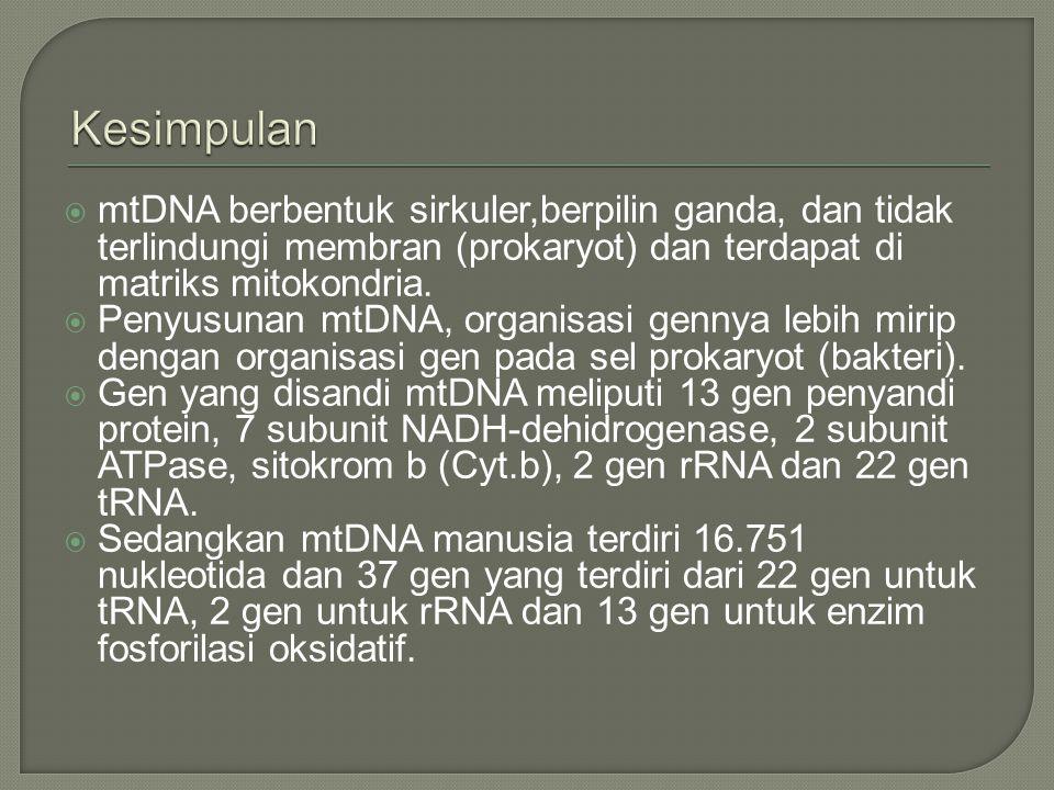  mtDNA berbentuk sirkuler,berpilin ganda, dan tidak terlindungi membran (prokaryot) dan terdapat di matriks mitokondria.