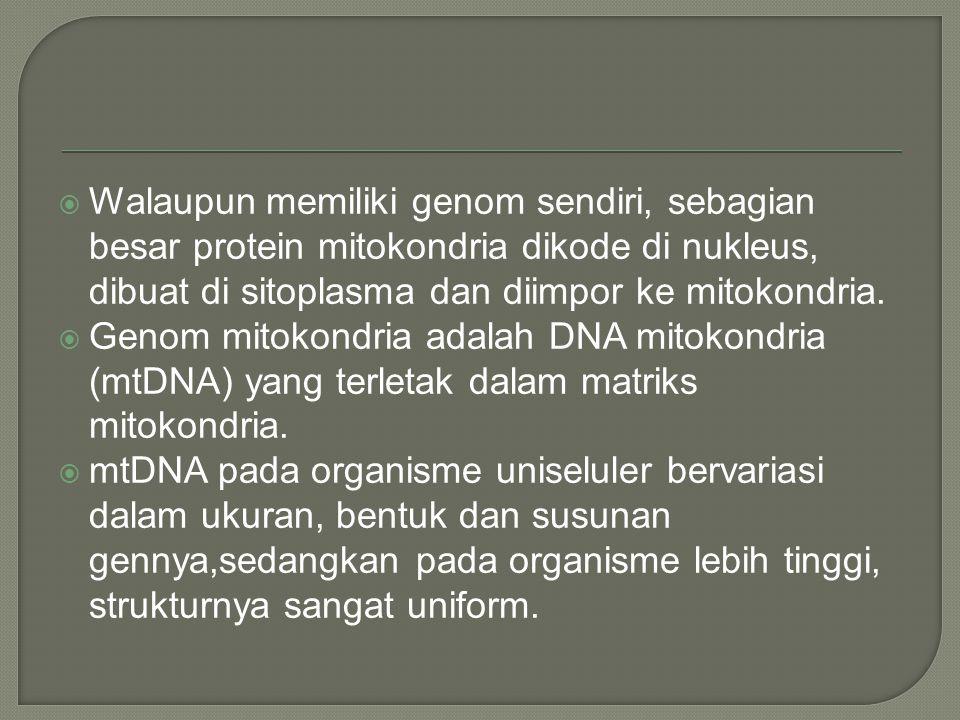  Walaupun memiliki genom sendiri, sebagian besar protein mitokondria dikode di nukleus, dibuat di sitoplasma dan diimpor ke mitokondria.