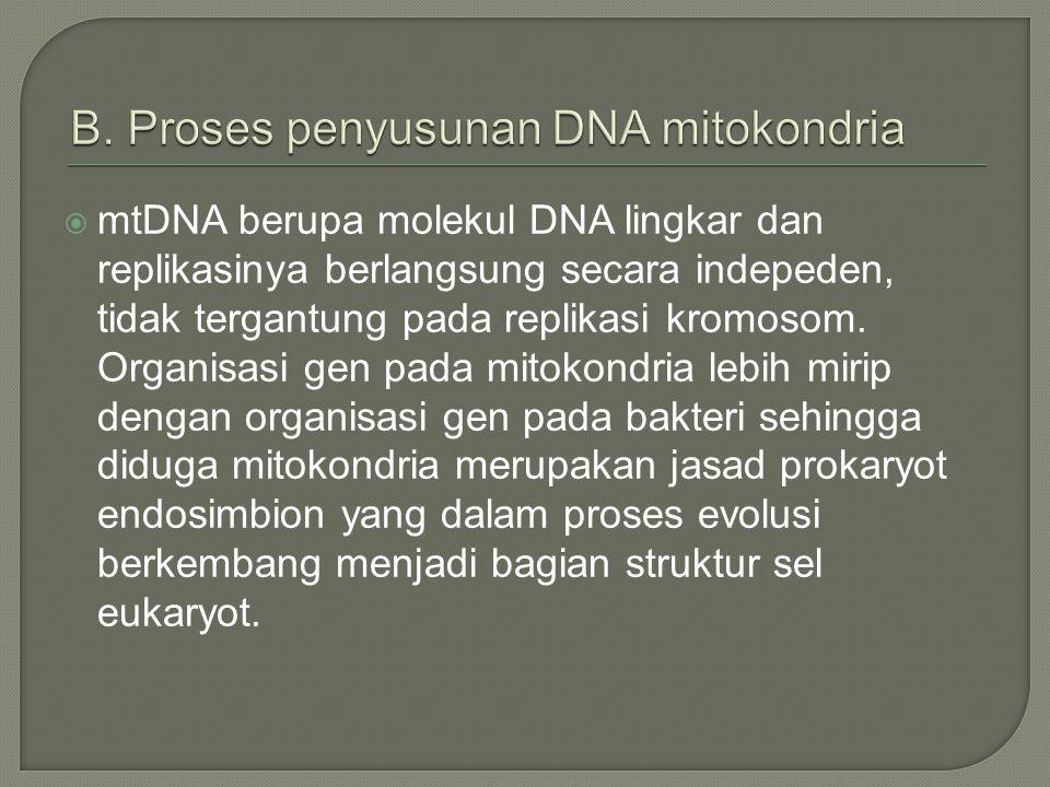  mtDNA berupa molekul DNA lingkar dan replikasinya berlangsung secara indepeden, tidak tergantung pada replikasi kromosom.