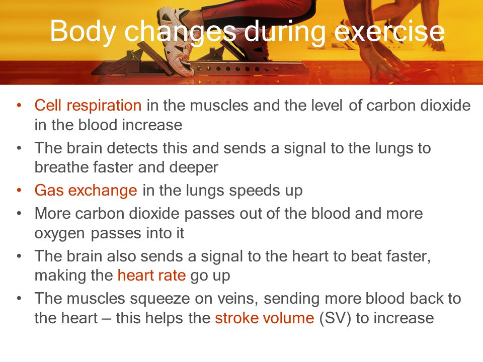 Body changes during exercise Cell respiration in the muscles and the level of carbon dioxide in the blood increase The brain detects this and sends a