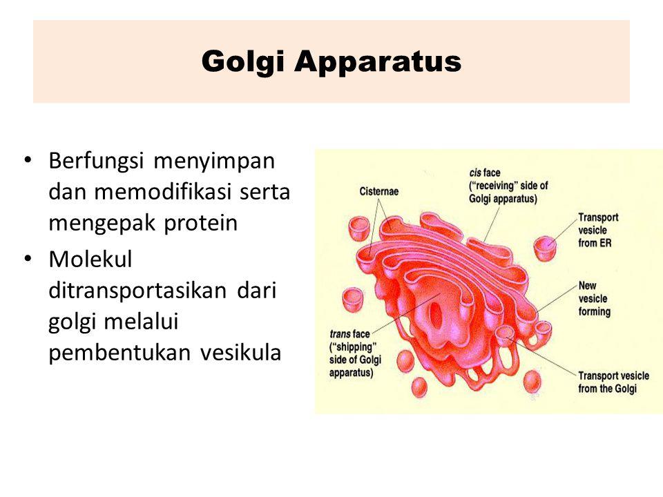 Golgi Apparatus Berfungsi menyimpan dan memodifikasi serta mengepak protein Molekul ditransportasikan dari golgi melalui pembentukan vesikula