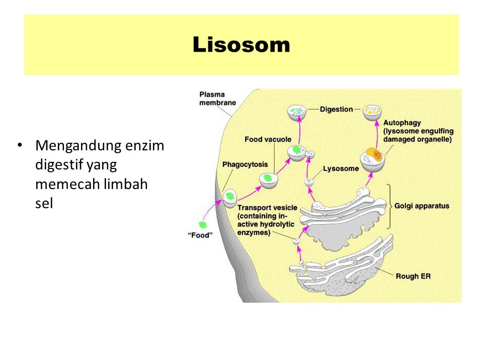 Lisosom Mengandung enzim digestif yang memecah limbah sel