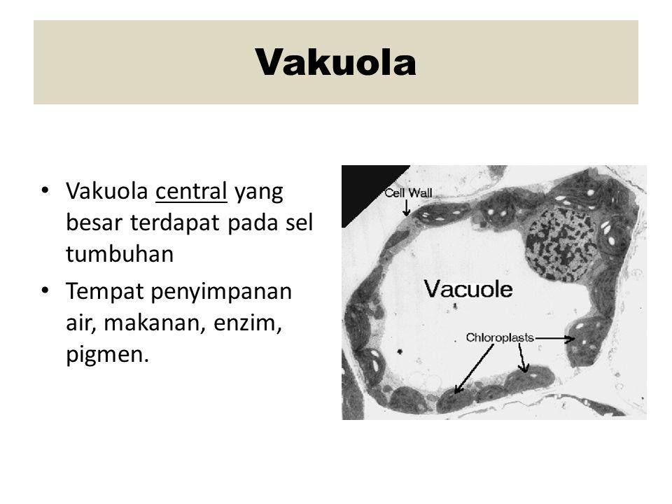 Vakuola Vakuola central yang besar terdapat pada sel tumbuhan Tempat penyimpanan air, makanan, enzim, pigmen.