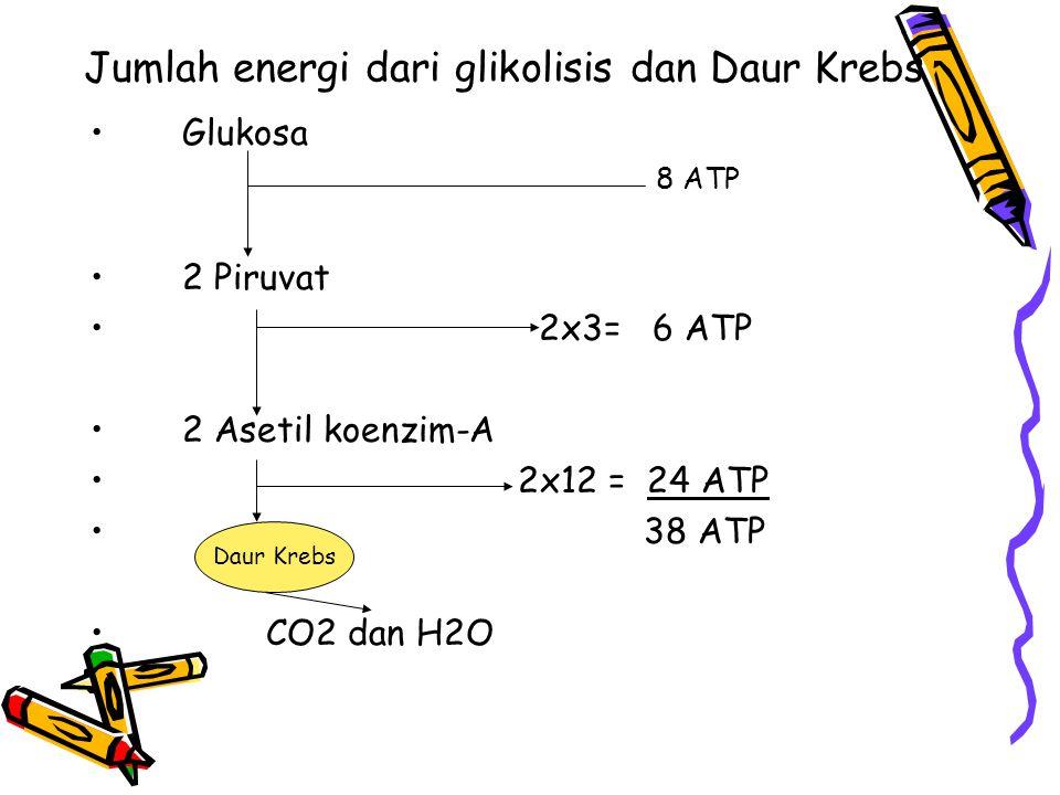 Jumlah energi dari glikolisis dan Daur Krebs Glukosa 8 ATP 2 Piruvat 2x3= 6 ATP 2 Asetil koenzim-A 2x12 = 24 ATP 38 ATP CO2 dan H2O Daur Krebs