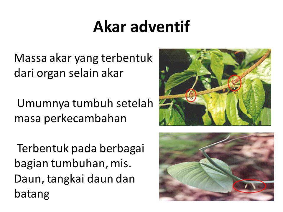Akar adventif Massa akar yang terbentuk dari organ selain akar Umumnya tumbuh setelah masa perkecambahan Terbentuk pada berbagai bagian tumbuhan, mis.