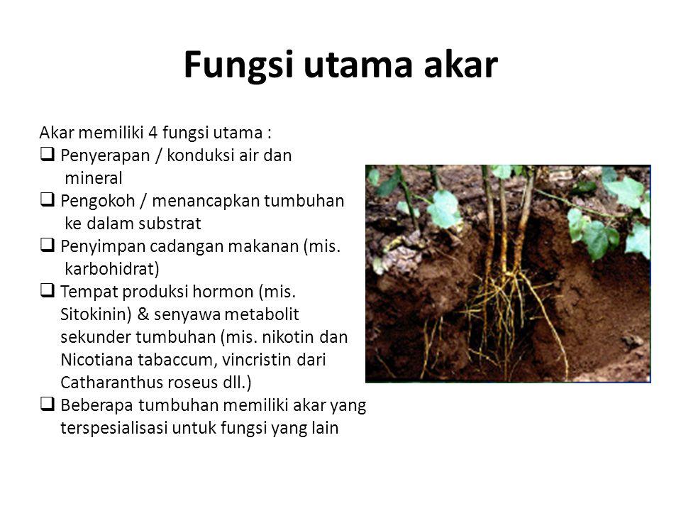 Fungsi utama akar Akar memiliki 4 fungsi utama :  Penyerapan / konduksi air dan mineral  Pengokoh / menancapkan tumbuhan ke dalam substrat  Penyimp