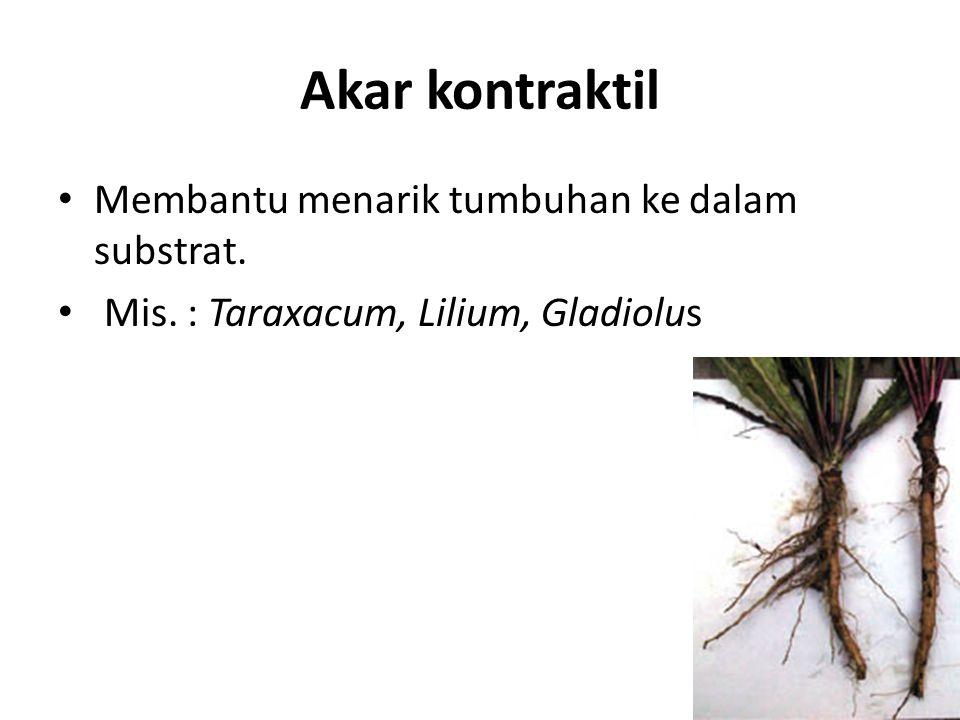 Akar kontraktil Membantu menarik tumbuhan ke dalam substrat. Mis. : Taraxacum, Lilium, Gladiolus