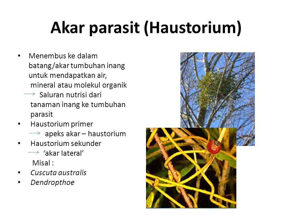 Akar parasit (Haustorium) Menembus ke dalam batang/akar tumbuhan inang untuk mendapatkan air, mineral atau molekul organik Saluran nutrisi dari tanaman inang ke tumbuhan parasit Haustorium primer apeks akar – haustorium Haustorium sekunder 'akar lateral' Misal : Cuscuta australis Dendropthoe