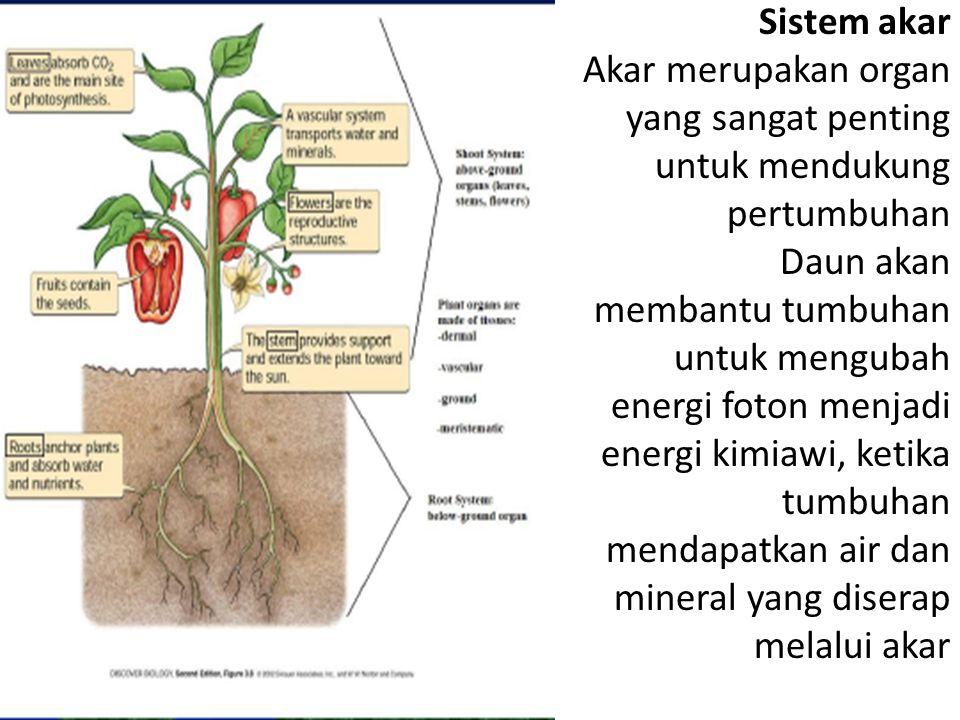 Sistem akar Akar merupakan organ yang sangat penting untuk mendukung pertumbuhan Daun akan membantu tumbuhan untuk mengubah energi foton menjadi energi kimiawi, ketika tumbuhan mendapatkan air dan mineral yang diserap melalui akar