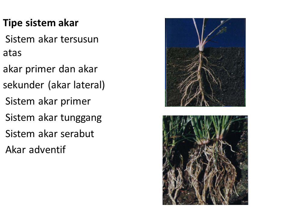 Tipe sistem akar Sistem akar tersusun atas akar primer dan akar sekunder (akar lateral) Sistem akar primer Sistem akar tunggang Sistem akar serabut Ak
