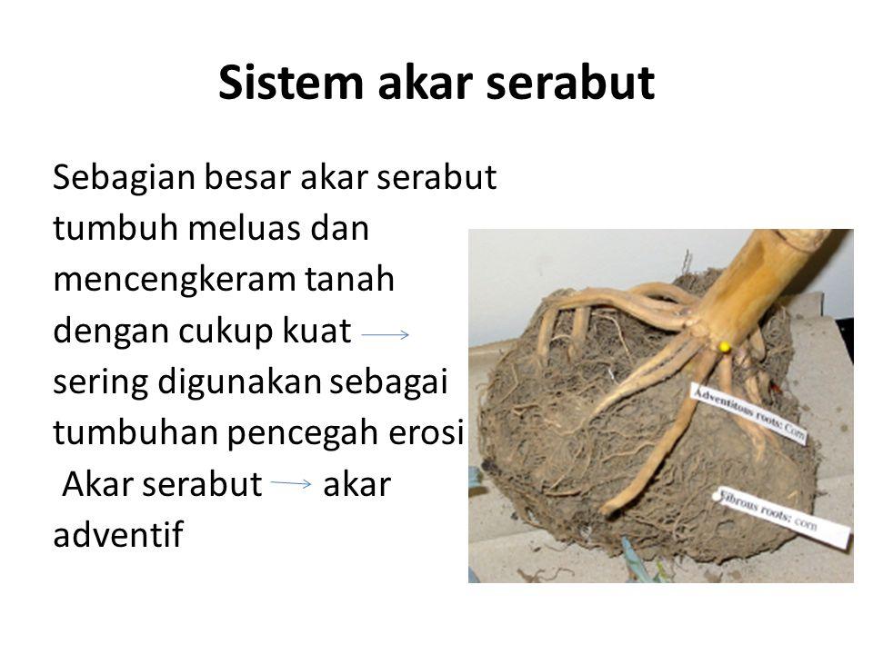 Sistem akar serabut Sebagian besar akar serabut tumbuh meluas dan mencengkeram tanah dengan cukup kuat sering digunakan sebagai tumbuhan pencegah eros