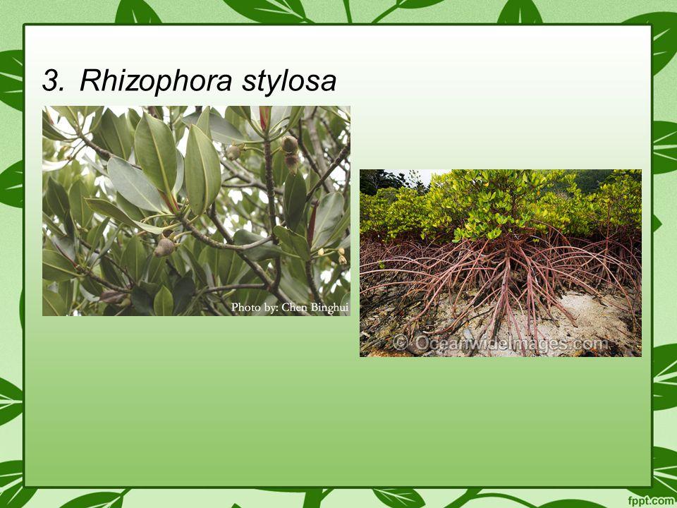 3.Rhizophora stylosa
