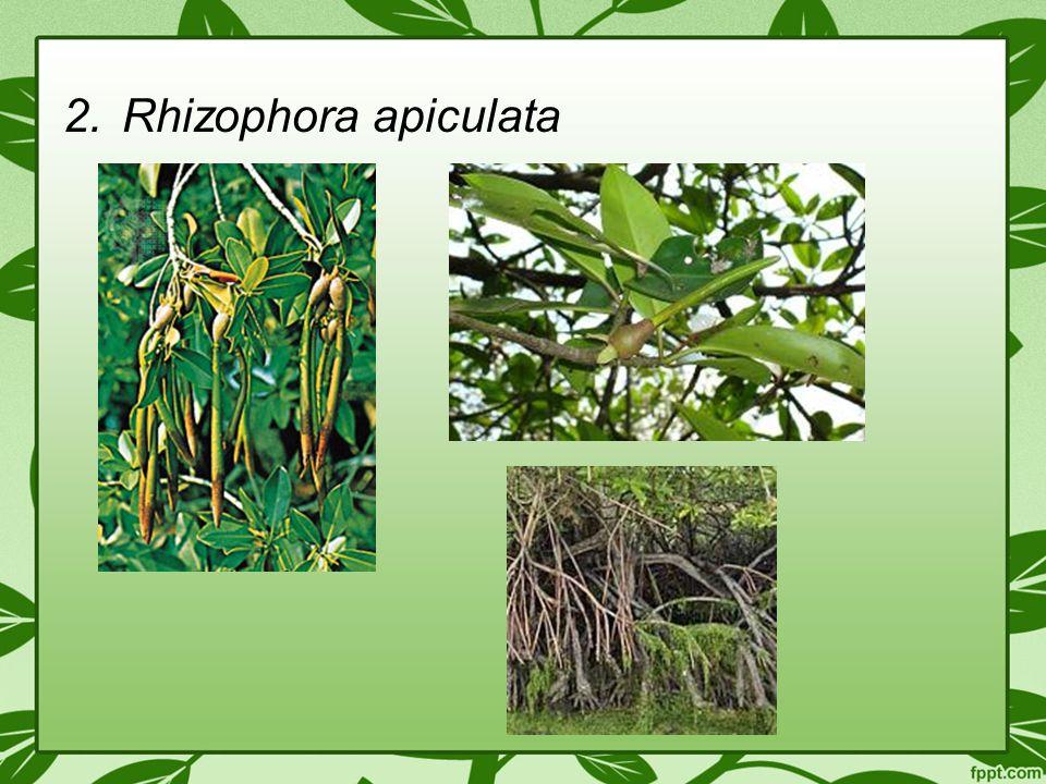 2.Rhizophora apiculata