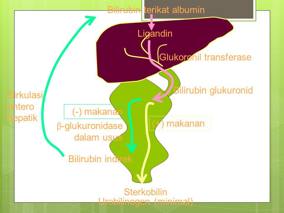Bilirubin terikat albumin Ligandin Glukoronil transferase Bilirubin glukuronid (+) makanan Bilirubin indirek Sirkulasi entero hepatik Sterkobilin Urobilinogen (minimal) β -glukuronidase dalam usus (-) makanan
