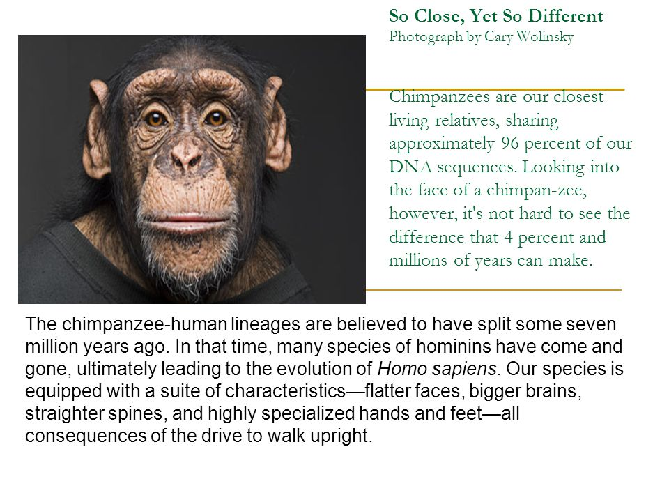 So Close, Yet So Different Photograph by Cary Wolinsky Chimpanzees are our closest living relatives, sharing approximately 96 percent of our DNA seque