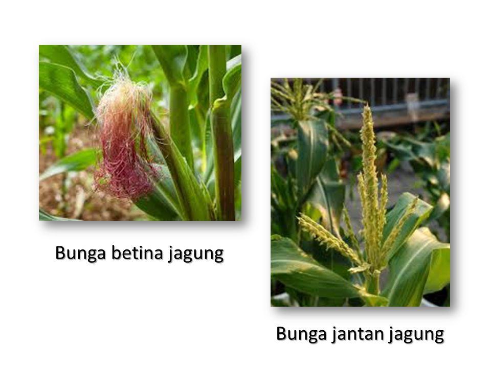Bunga jantan jagung Bunga betina jagung