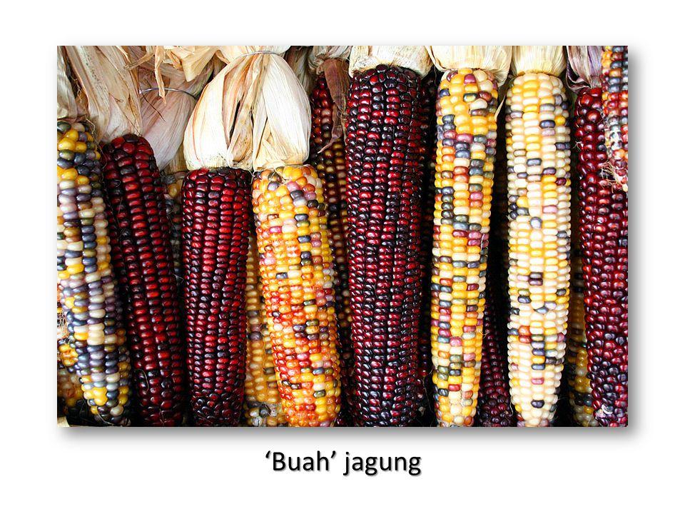 'Buah' jagung