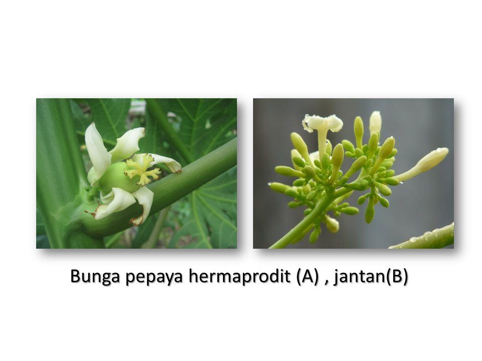 Bunga pepaya hermaprodit (A), jantan(B)