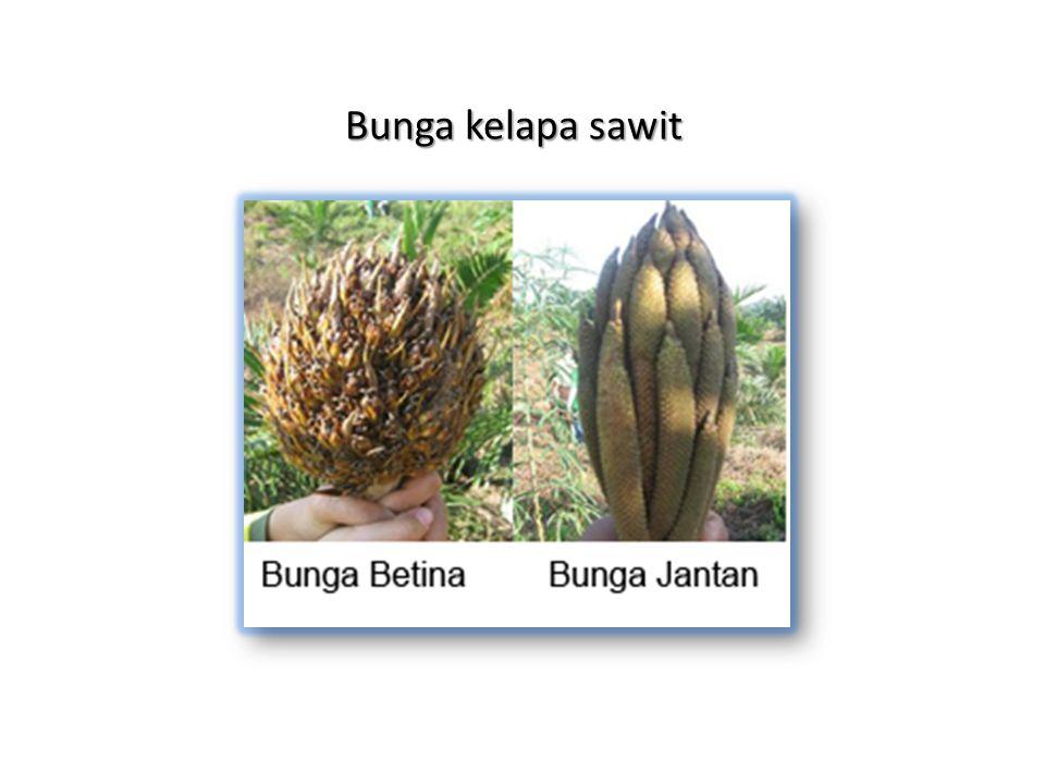 Buah kelapa sawit (A) tandan, (B) buah tungggal A B