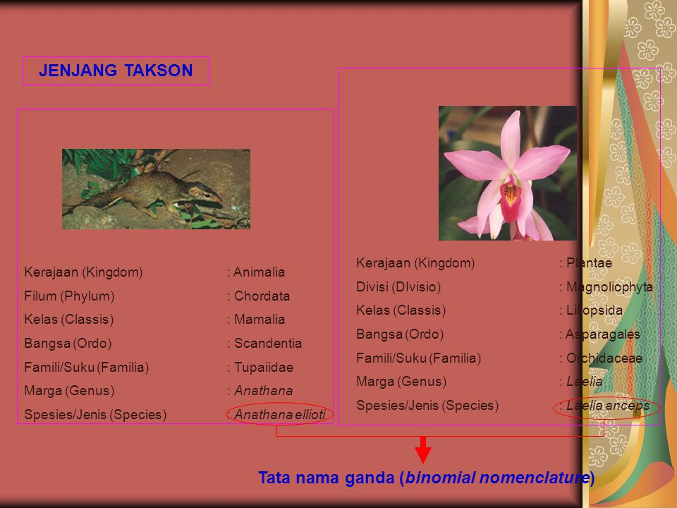 JENJANG TAKSON Tata nama ganda (binomial nomenclature) Kerajaan (Kingdom): Animalia Filum (Phylum): Chordata Kelas (Classis): Mamalia Bangsa (Ordo): S