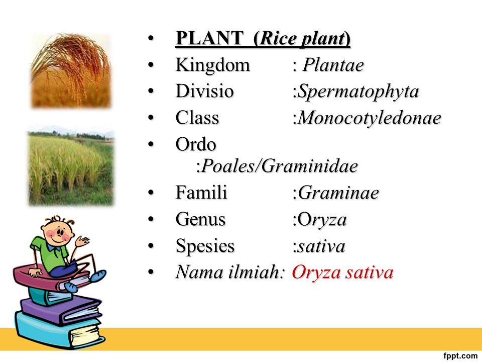 PLANT (Rice plant)PLANT (Rice plant) Kingdom : PlantaeKingdom : Plantae Divisio:SpermatophytaDivisio:Spermatophyta Class:MonocotyledonaeClass:Monocoty