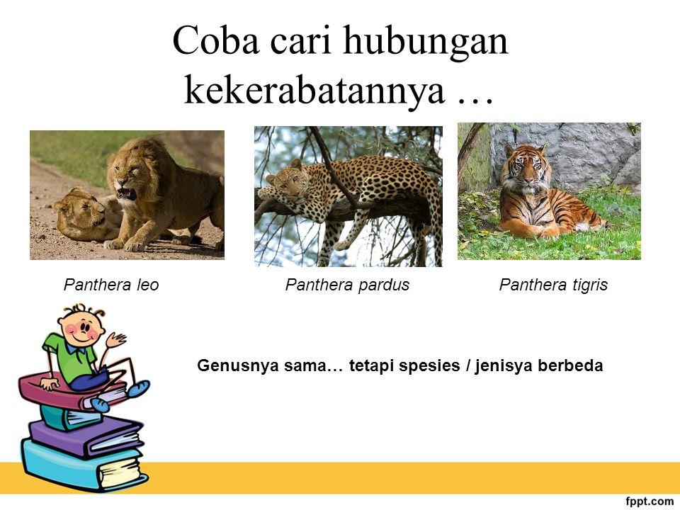 Coba cari hubungan kekerabatannya … Panthera leoPanthera pardusPanthera tigris Genusnya sama… tetapi spesies / jenisya berbeda