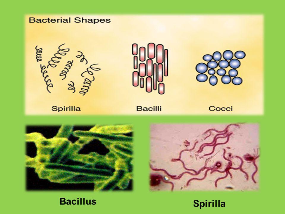 Bacillus Spirilla