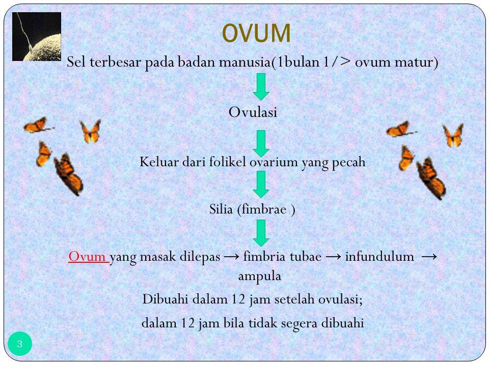 OVUM Sel terbesar pada badan manusia(1bulan 1/> ovum matur) Ovulasi Keluar dari folikel ovarium yang pecah Silia (fimbrae ) Ovum Ovum yang masak dilepas → fimbria tubae → infundulum → ampula Dibuahi dalam 12 jam setelah ovulasi; dalam 12 jam bila tidak segera dibuahi 3