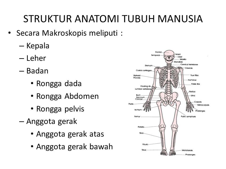 STRUKTUR ANATOMI TUBUH MANUSIA Secara Makroskopis meliputi : – Kepala – Leher – Badan Rongga dada Rongga Abdomen Rongga pelvis – Anggota gerak Anggota