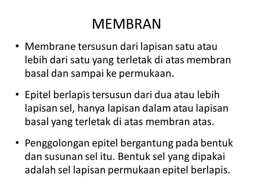 MEMBRAN Membrane tersusun dari lapisan satu atau lebih dari satu yang terletak di atas membran basal dan sampai ke permukaan. Epitel berlapis tersusun