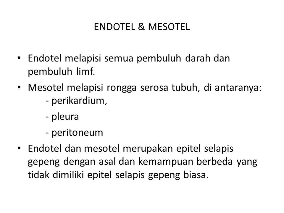ENDOTEL & MESOTEL Endotel melapisi semua pembuluh darah dan pembuluh limf. Mesotel melapisi rongga serosa tubuh, di antaranya: - perikardium, - pleura