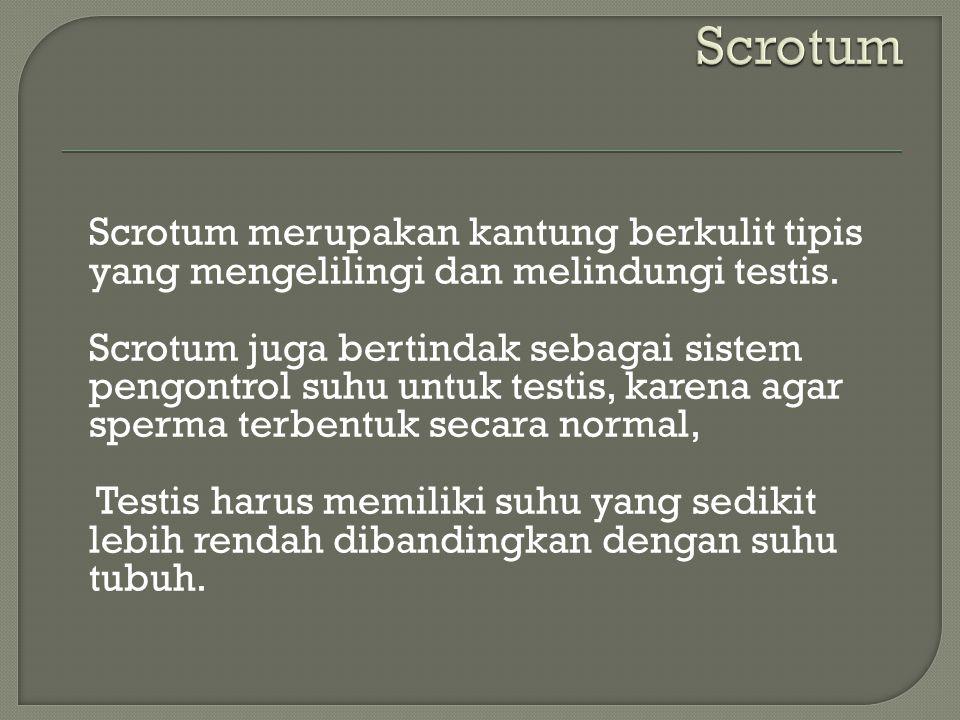 Scrotum merupakan kantung berkulit tipis yang mengelilingi dan melindungi testis. Scrotum juga bertindak sebagai sistem pengontrol suhu untuk testis,