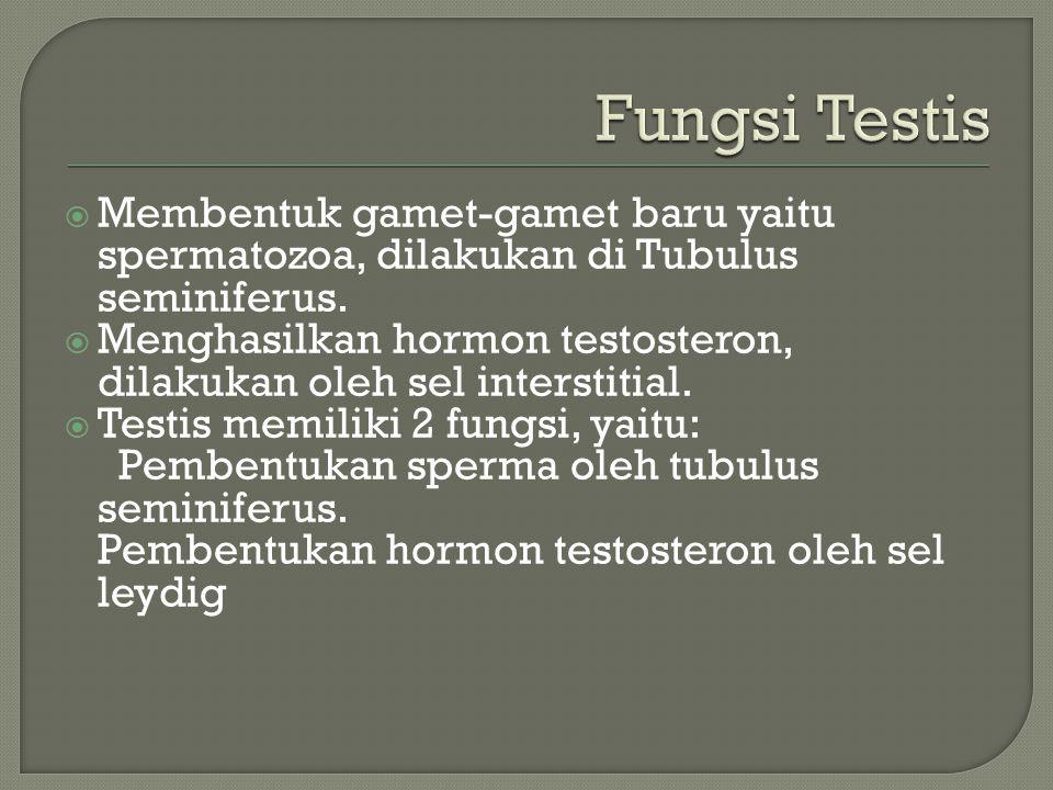 Membentuk gamet-gamet baru yaitu spermatozoa, dilakukan di Tubulus seminiferus.  Menghasilkan hormon testosteron, dilakukan oleh sel interstitial.