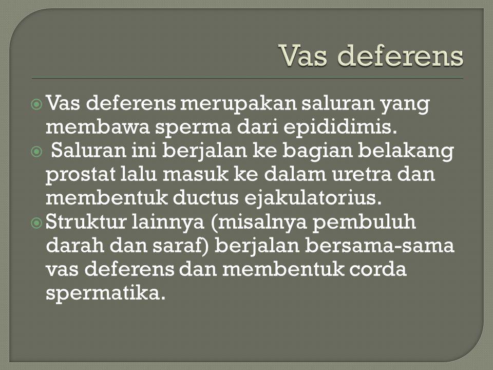  Vas deferens merupakan saluran yang membawa sperma dari epididimis.  Saluran ini berjalan ke bagian belakang prostat lalu masuk ke dalam uretra dan