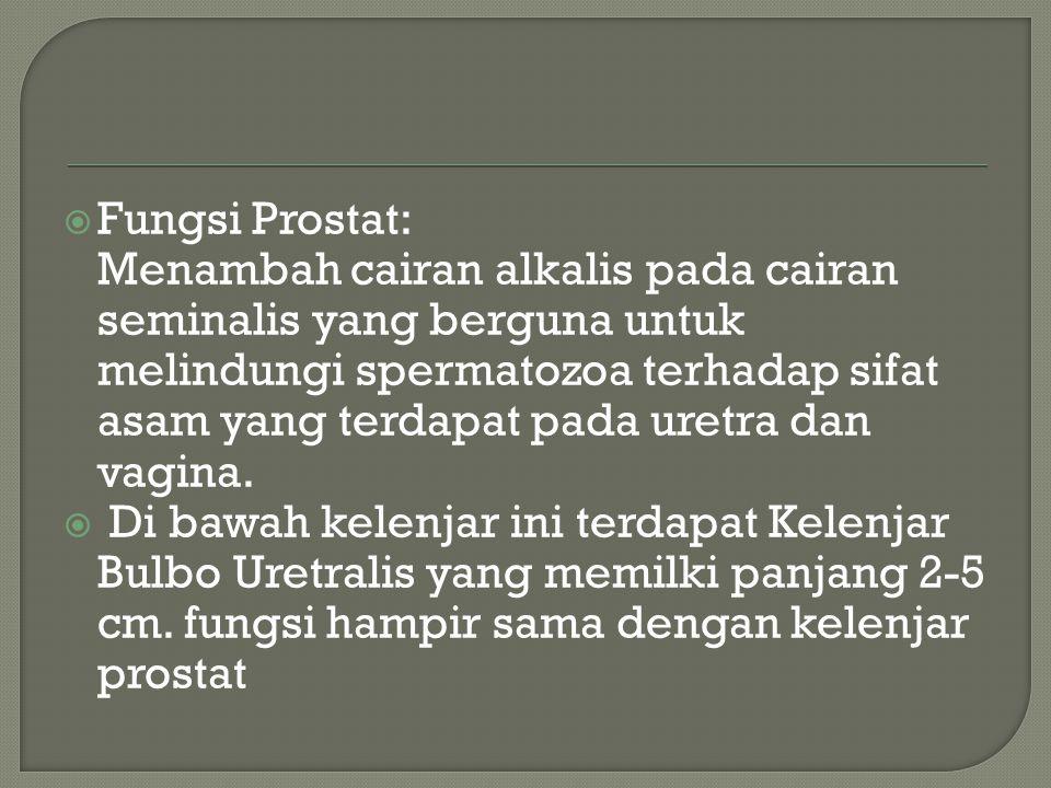  Fungsi Prostat: Menambah cairan alkalis pada cairan seminalis yang berguna untuk melindungi spermatozoa terhadap sifat asam yang terdapat pada uretr