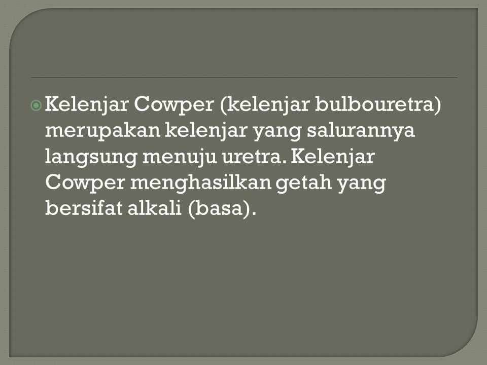  Kelenjar Cowper (kelenjar bulbouretra) merupakan kelenjar yang salurannya langsung menuju uretra. Kelenjar Cowper menghasilkan getah yang bersifat a