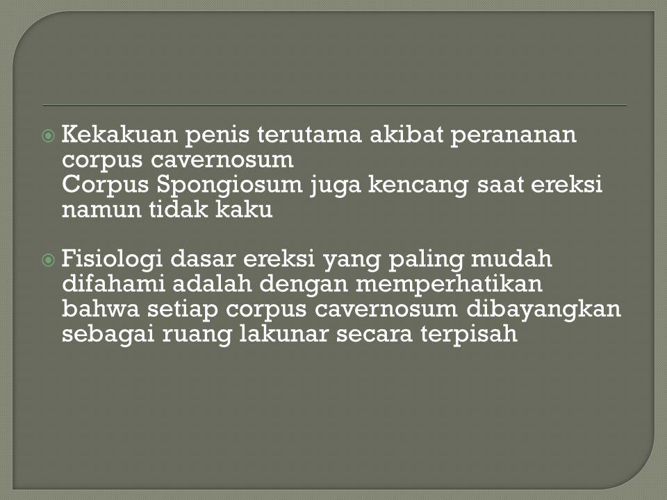  Kekakuan penis terutama akibat perananan corpus cavernosum Corpus Spongiosum juga kencang saat ereksi namun tidak kaku  Fisiologi dasar ereksi yang
