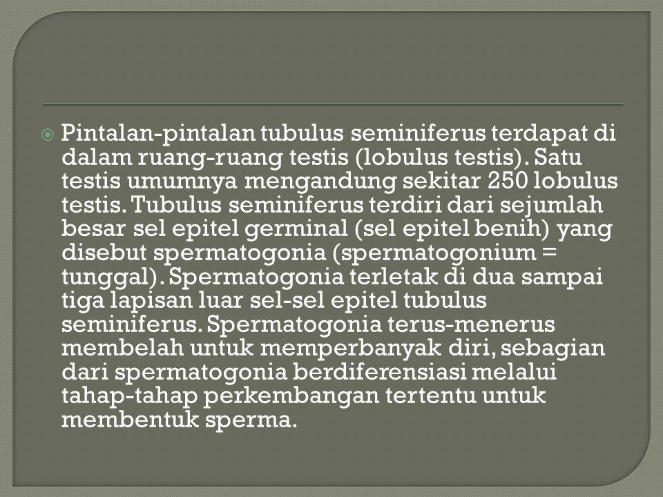  Pintalan-pintalan tubulus seminiferus terdapat di dalam ruang-ruang testis (lobulus testis). Satu testis umumnya mengandung sekitar 250 lobulus test