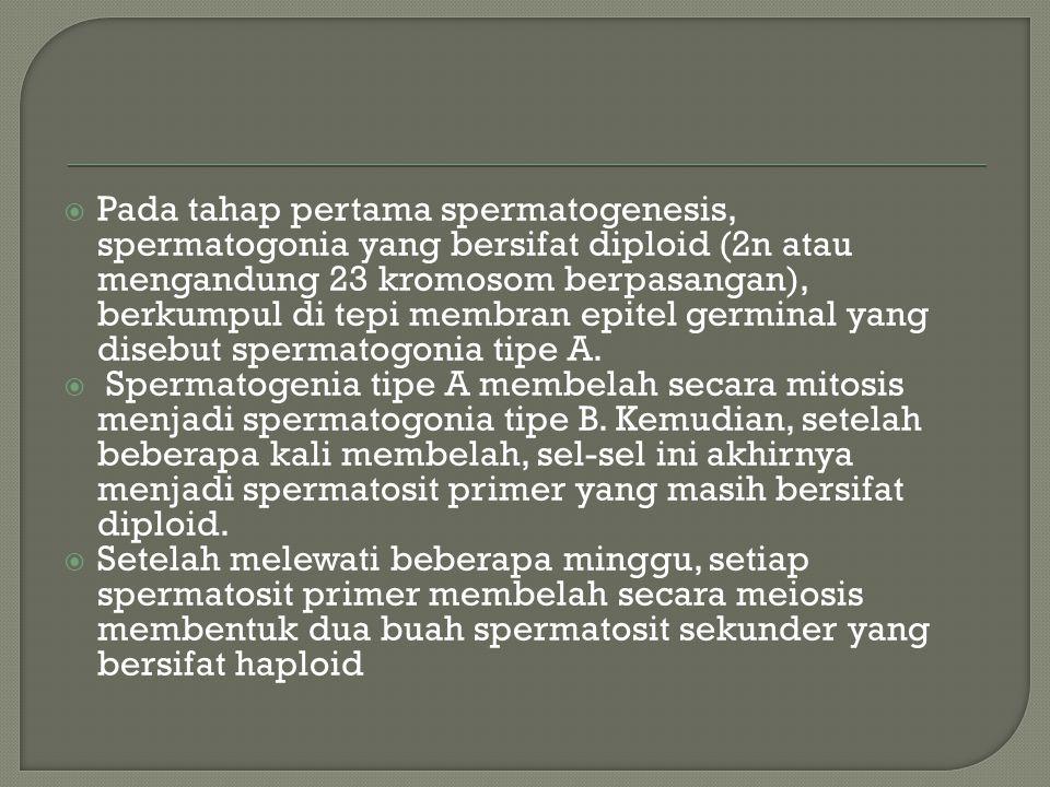  Pada tahap pertama spermatogenesis, spermatogonia yang bersifat diploid (2n atau mengandung 23 kromosom berpasangan), berkumpul di tepi membran epit