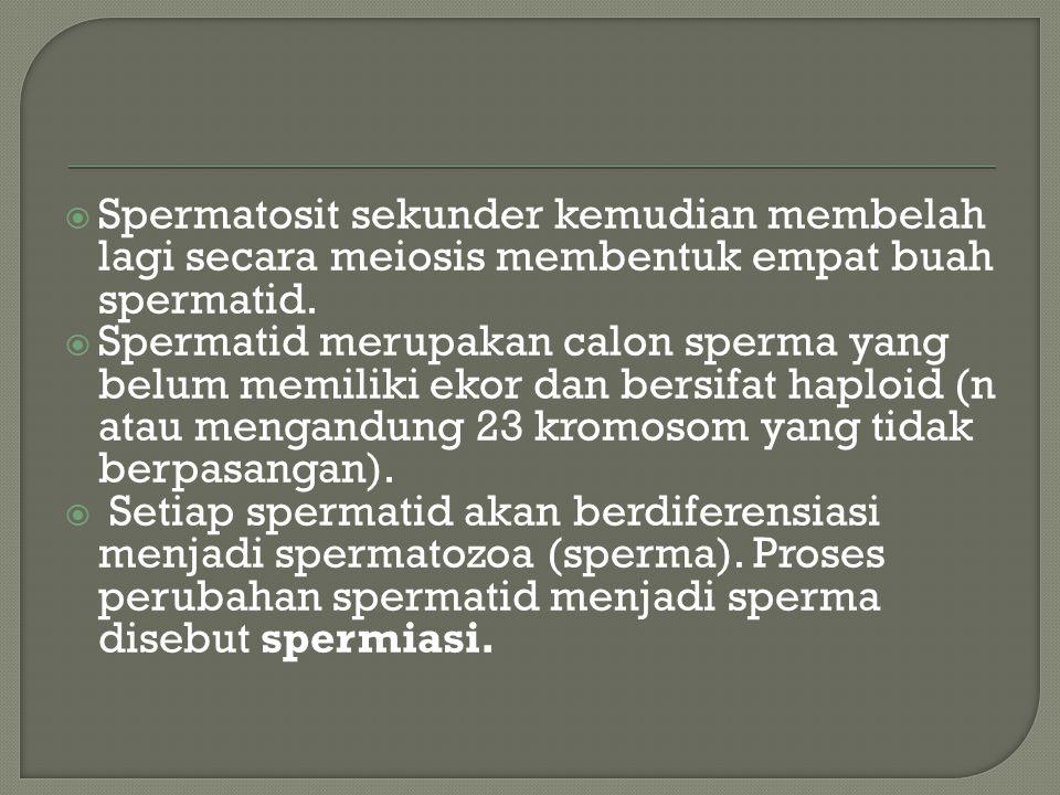  Spermatosit sekunder kemudian membelah lagi secara meiosis membentuk empat buah spermatid.  Spermatid merupakan calon sperma yang belum memiliki ek