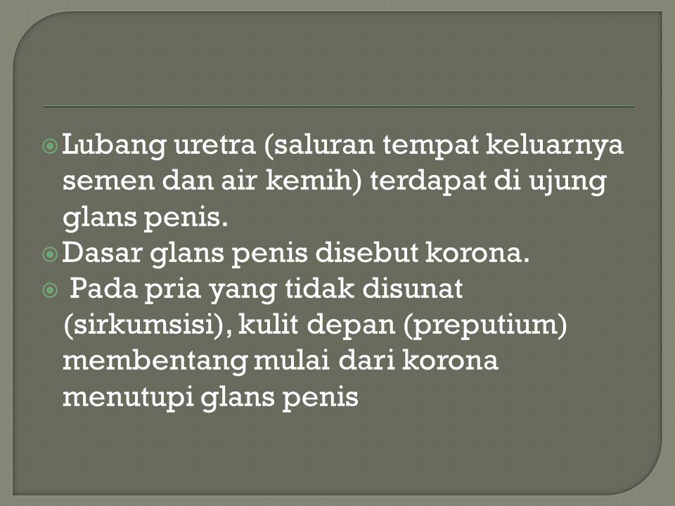  Lubang uretra (saluran tempat keluarnya semen dan air kemih) terdapat di ujung glans penis.  Dasar glans penis disebut korona.  Pada pria yang tid