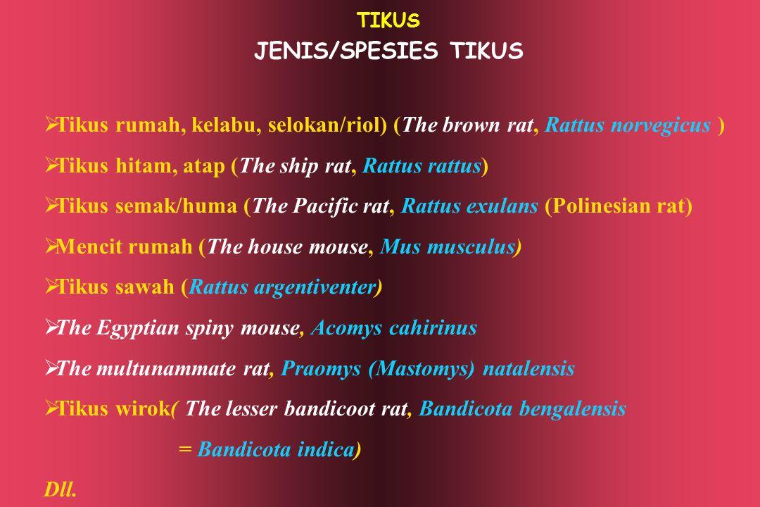 TIKUS JENIS/SPESIES TIKUS  Tikus rumah, kelabu, selokan/riol) (The brown rat, Rattus norvegicus )  Tikus hitam, atap (The ship rat, Rattus rattus) 