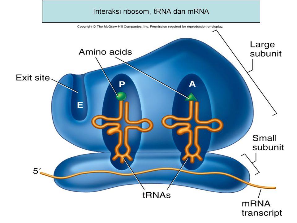Interaksi ribosom, tRNA dan mRNA