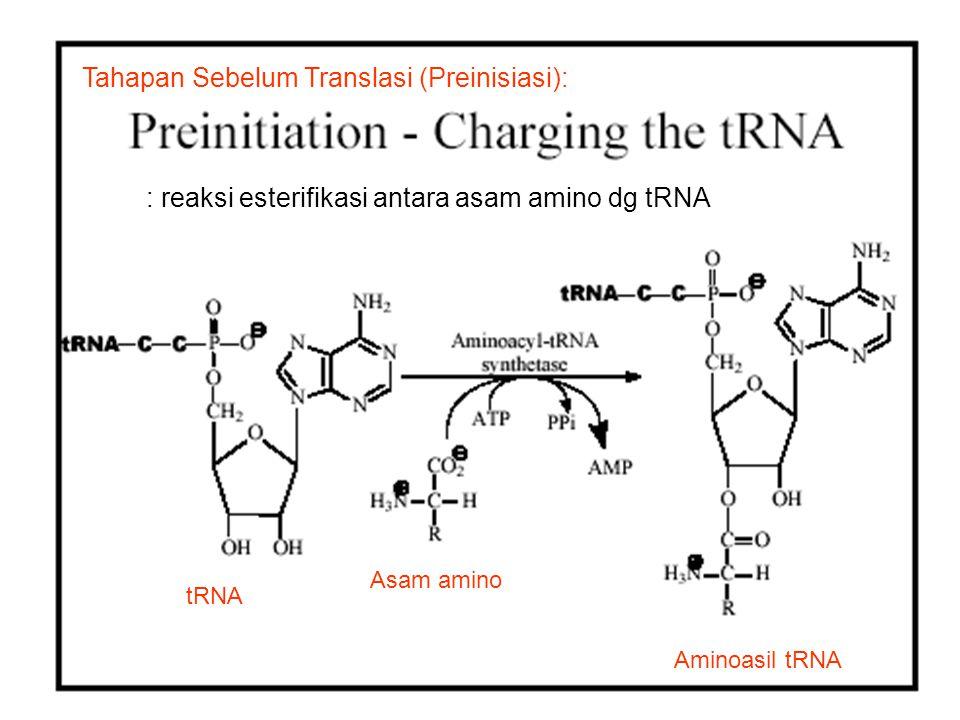 Tahapan Sebelum Translasi (Preinisiasi): : reaksi esterifikasi antara asam amino dg tRNA Aminoasil tRNA Asam amino tRNA